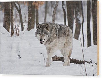 Wood Print featuring the photograph Timber Wolf In Winter Forest by Wolves Only