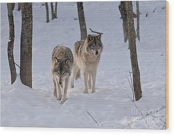 Wood Print featuring the photograph Timber Wolf Pair  by Wolves Only