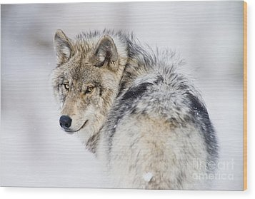 Timber Wolf Pictures 1268 Wood Print by World Wildlife Photography