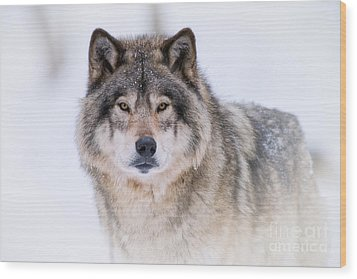 Timber Wolf Pictures 256 Wood Print
