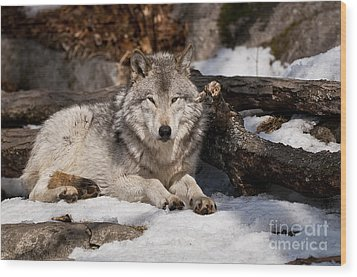 Timber Wolf Pictures 776 Wood Print by World Wildlife Photography