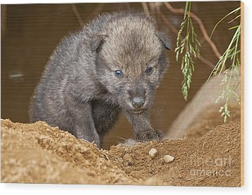 Timber Wolf Pictures 782 Wood Print by World Wildlife Photography