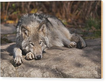 Timber Wolf Pictures 945 Wood Print by World Wildlife Photography