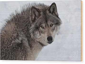 Wood Print featuring the photograph Timberwolf At Rest by Bianca Nadeau