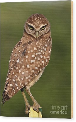 Tiny Burrowing Owl Wood Print by Sabrina L Ryan