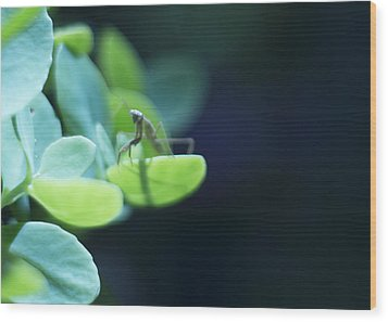 Wood Print featuring the photograph Tiny Praying Mantis On Sedum by Rebecca Sherman