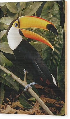 Toco Toucan Ramphastos Toco Calling Wood Print by Claus Meyer