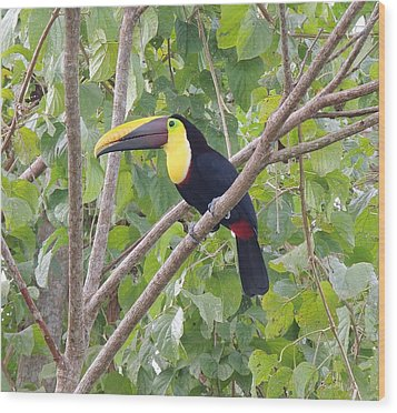 Toucan Wood Print by Gregory Young