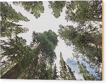 Towering Pine Trees Wood Print by James BO  Insogna