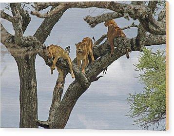 Tree Lions Wood Print by Tony Murtagh