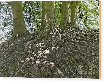 Trees And Roots Wiltshire England Wood Print by Robert Preston
