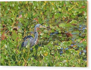 Tri Colored Heron 2 Wood Print by Jodi Terracina