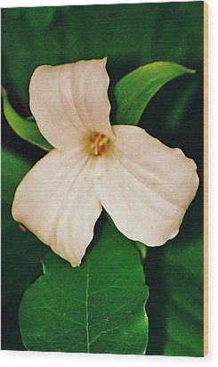 Wood Print featuring the photograph Trillium by Daniel Thompson