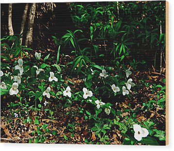 Trillium In Morning Sun Wood Print by Michelle Calkins
