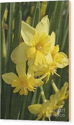 Tripartite Daffodil Wood Print by Judy Whitton