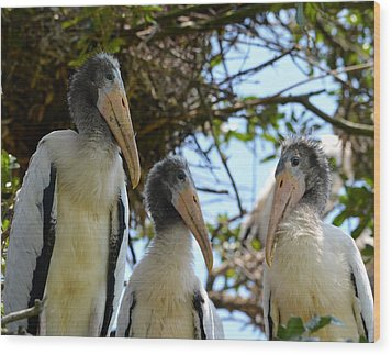 Triplet Wood Stork Nestlings Wood Print by Richard Bryce and Family