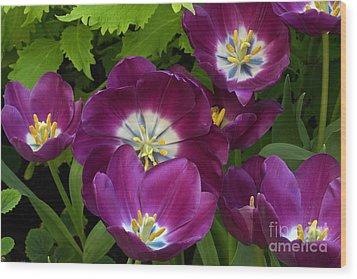 Triumph Tulips Negrita Variety Wood Print by Byron Varvarigos