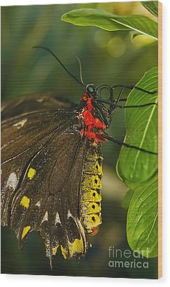 Wood Print featuring the photograph Troides Helena Butterfly  by Olga Hamilton
