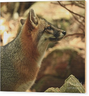 Truly Captivated By The Rare Grey Fox Wood Print by Inspired Nature Photography Fine Art Photography