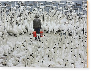 Trumpeter Swan Feeding Time Wood Print by Amanda Stadther