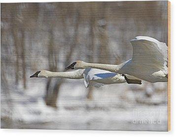 Trumpeter Swan Flyby  Wood Print by Tim Grams