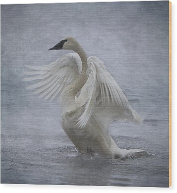 Trumpeter Swan - Misty Display Wood Print