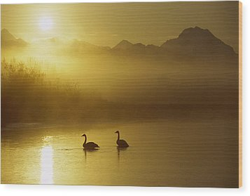 Trumpeter Swan Pair At Sunset Wood Print by Michael Quinton