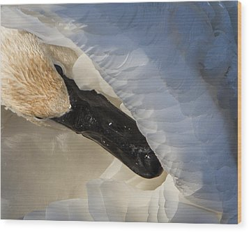 Trumpeter Swan - Safe Place Wood Print by Patti Deters