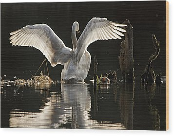 Wood Print featuring the photograph Trumpeter Swan Stretch by Inge Riis McDonald