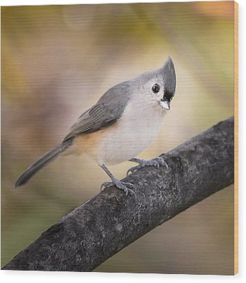Tufted Titmouse Wood Print by Bill Wakeley