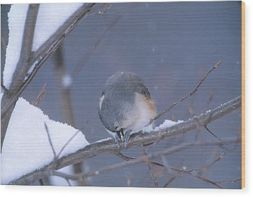 Tufted Titmouse Eating Seeds Wood Print by Paul J. Fusco