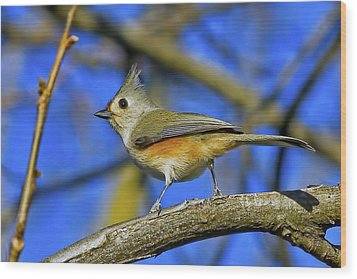 Tufted Titmouse Wood Print by Gary Holmes