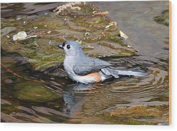 Tufted Titmouse In Pond II Wood Print by Sandy Keeton