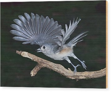 Tufted Titmouse Take-off Wood Print