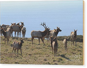 Tules Elks Of Tomales Bay California - 7d21236 Wood Print by Wingsdomain Art and Photography