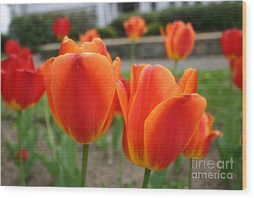 Tulip Collection Photo 2 Wood Print