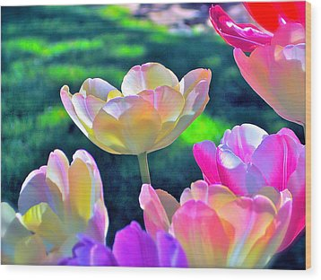 Tulip 21 Wood Print by Pamela Cooper