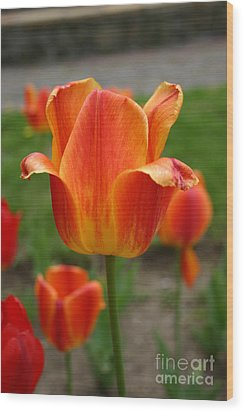 Tulip Collection Photo 4 Wood Print