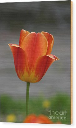 Tulip Collection Photo 6 Wood Print