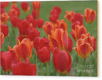 Tulip Collection Photo 7 Wood Print
