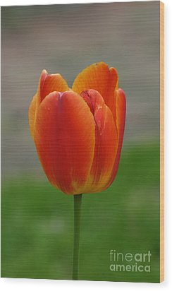Tulip Collection Photo 8 Wood Print