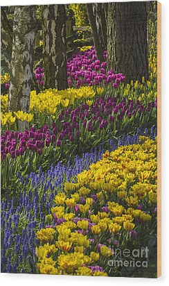 Tulip Beds Wood Print by Sonya Lang