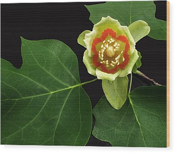 Tulip Bloom Wood Print by Don Spenner