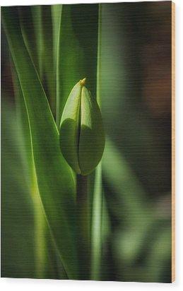 Tulip Bud Wood Print by Peter Scott
