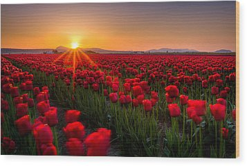 Tulip Fields Wood Print by Alexis Birkill