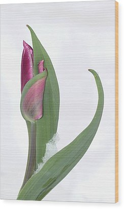 Tulip In The Snow Wood Print by  Andrea Lazar