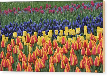 Tulip Time In Amsterdam Wood Print