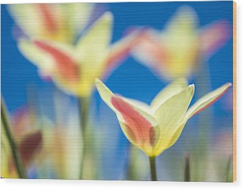 Tulips And Blue Sky Wood Print