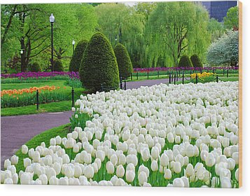Tulips Boston Public Gardens  Wood Print
