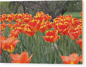 Wood Print featuring the photograph Tulips From Brooklyn by John Telfer